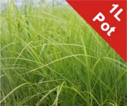 Palm Branch Sedge  Carex muskingumensis - 1L Pot