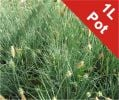 Carnation Grass Carex Panicea - 1L Pot