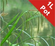 Pendulous Sedge Carex Pendula - 1L Pot