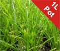 Cyperus sedge Carex pseudocyperus - 1L Pot