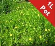 Golden Buttons Cotula Coronopifolia - 1L Pot
