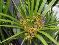 Umbrella Plant Cyperus alternifolius - 1L Pot