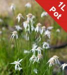 White Star Grass Dichromena colorata - 1L Pot