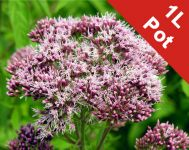Hemp agrimony Eupatorium cannabinum - 1L Pot
