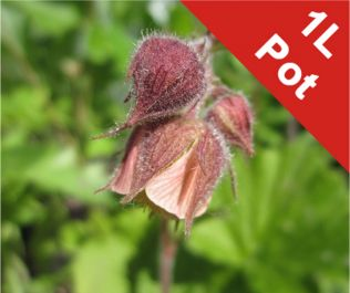 1L Water Avens 'Leonard's Variety' Geum Rivale