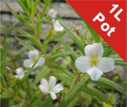 Summer Snowflake Gratiola Officinalis - 1L Pot