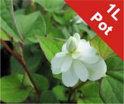 Heart Shaped Houttuynia Houttuynia cordata - 1L Pot