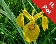 Yellow Flag - Iris pseudacorus - 1L Pot