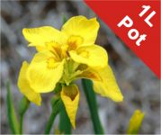 Double Yellow Flag Iris Pseudacorus Flore Pleno - 1L Pot
