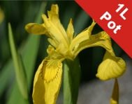 Yellow Flag - 'Variegated' Iris pseudacorus 'Variegata' - 1L Pot