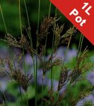Hard Rush Juncus Inflexus - 1L Pot