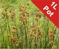Sea Rush Juncus maritimus - 1L Pot