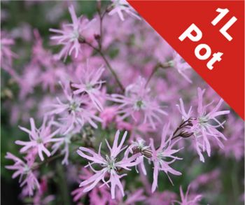 1L Terry's Pink Lychnis flos-cuculi