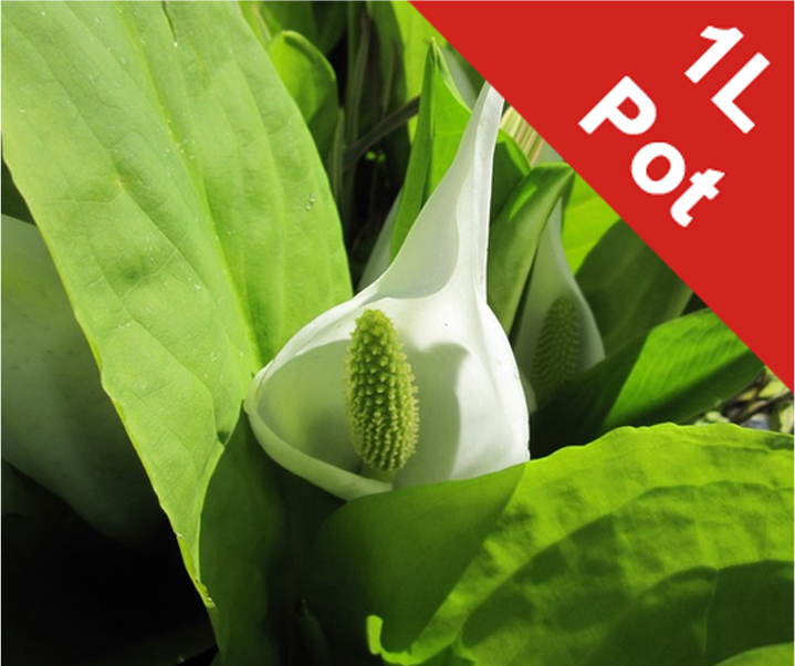 1L Asian Skunk Cabbage Lysichiton camtschatcensis