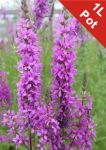Purple Loosestrife Lythrum Salicaria - 1L Pot - Cut Back