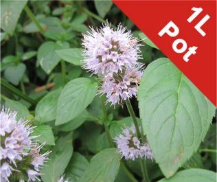 1L Water Mint Mentha Aquatica - Cut Back