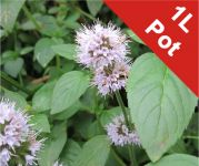 Water Mint Mentha Aquatica - 1L Pot - Cut Back