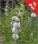 Water Spearmint Preslia Cervina - 1L Pot