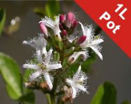 Bogbean - Menyanthes trifoliata - 1L Pot