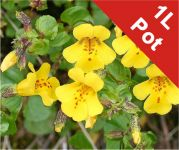 Yellow Monkeyflower Mimulus guttatus - 1L Pot - Cut Back