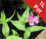 Great Purple Monkeyflower Mimulus lewisii - 1L Pot