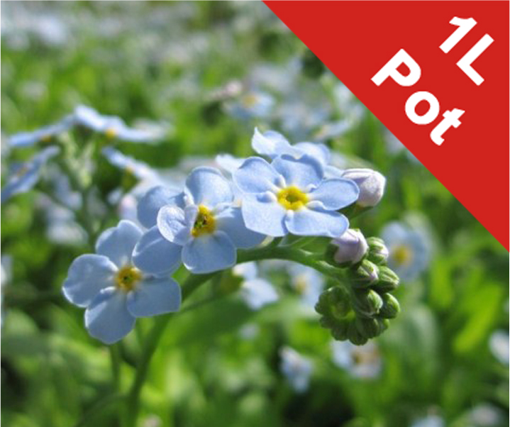 Water forget-me-not Myosotis Scorpioides - 1L Pot