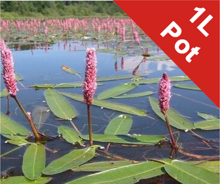 Water Knotweed - Persicaria amphibia - 1L Pot