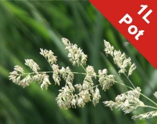 1L Reed Canary Grass Phalaris arundinacea - Cut Back