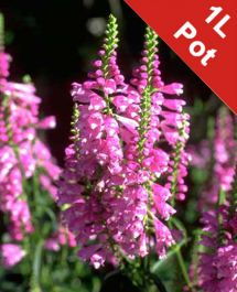 1L Obedient Plant Physostegia virginiana