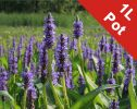 Pickerel Weed - Pontederia Cordata - 1L Pot