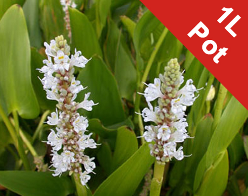 White Pickerel Weed - Pontederia Cordata Alba - 1L Pot