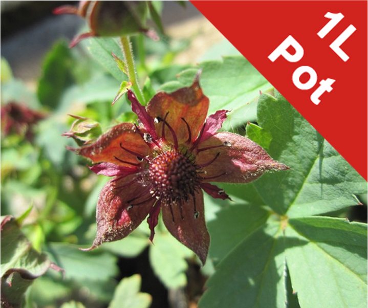 1L Marsh cinquefoil Potentilla palustris - Cut Back