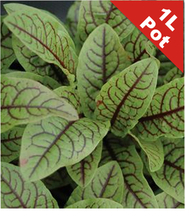 Bloody Dock Rumex sanguineus - 1L Pot