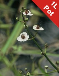 1L Arrow Head Sagittaria sagittifolia
