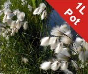 Common Cotton Grass Eriophorum angustifolium - 1L Pot
