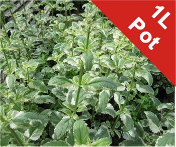 Variegated Water Figwort Scrophularia auriculata - 1L Pot