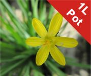 Golden Eyed Grass Sisyrinchium californicum - 1L Pot