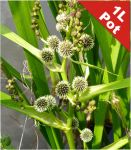Branched Bur Reed Sparganium erectum - 1L Pot - Cut Back