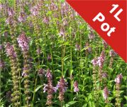 Marsh woundwort Stachys palustris - 1L Pot