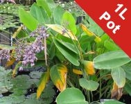 Powdery Alligator-flag Thalia dealbata - 1L Pot