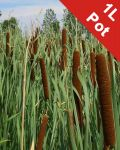 Lesser Bulrush Typha angustifolia - 1L Pot