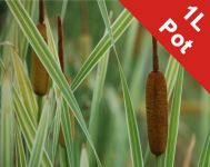 Great Reedmace Variegated Typha latifolia variegata - 1L Pot