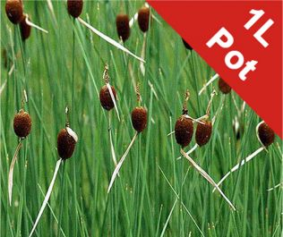 1L Miniature Bulrush Typha minima