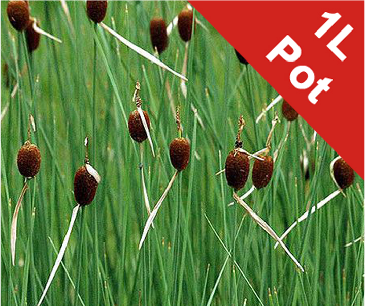 Miniature Bulrush Typha minima - 1L Pot