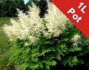 Goat's Beard Aruncus sylvester r - 1L Pot - Cut Back