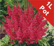 Spirea Red Astilbe Arendsii Red - 1L Pot