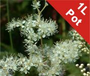 Meadow Sweet Filipendula Ulmaria - 1L Pot - Cut Back