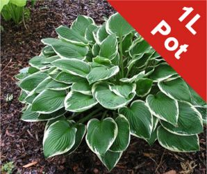 1L Plantain Lily Hosta Fortunei Francee - Cut Back