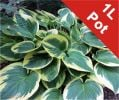 Plantain Lily Hosta Wide Brim - 1L Pot - Cut Back