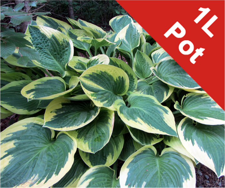 1L Plantain Lily Hosta Wide Brim - Cut Back